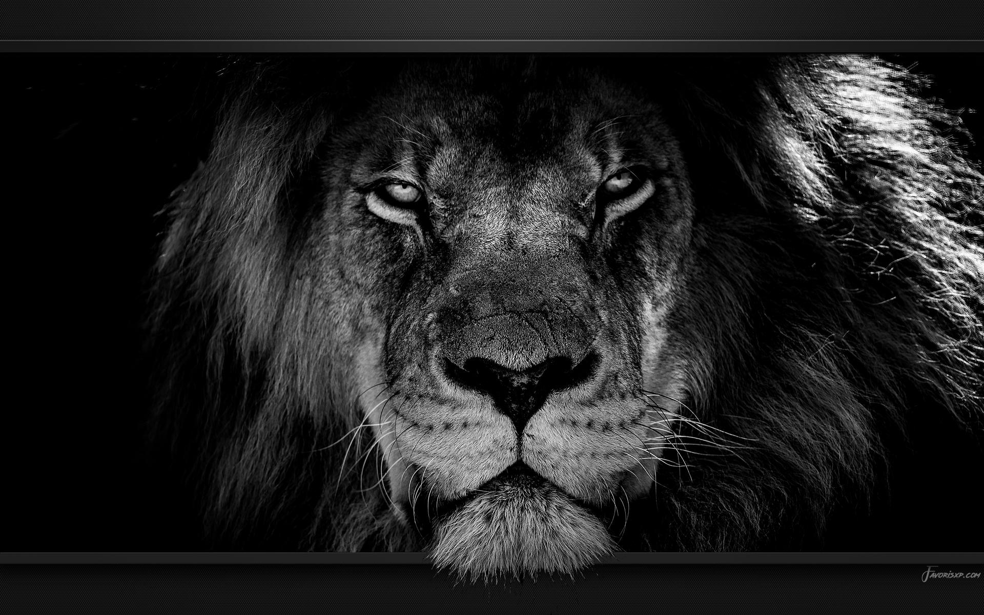 Lions Fonds d'écran - Image arrière-plan - Wallpaper Favorisxp