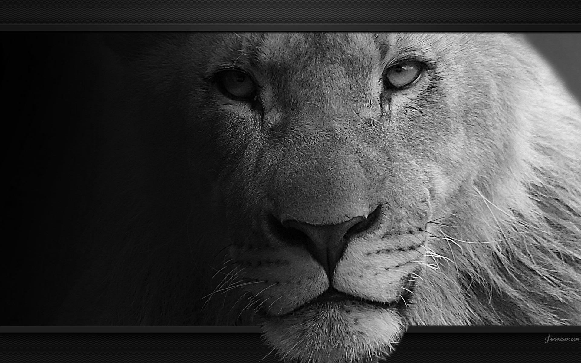 Lions Fonds Décran Image Arrière Plan Wallpaper Favorisxp
